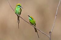 Green Bee-eaters Merops orientalis sitting on twig, Kanha National Park, Madhya Pradesh, India