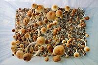 Ecuadorian Psilocybe Cubensis mushrooms growing in a terrarium in Amsterdam, Netherlands