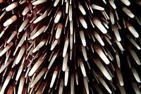 Sea urchin (Sphaerechinus granularis) with purple and white spikes.
