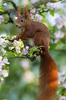 European Red Squirrel Sciurus vulgaris, sitting in flowering apple tree, Lower Saxony, Germany