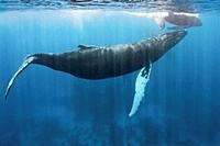 Humpback whale Megaptera novaeangliae, Silver Bank, Dominican Republic, Atlantic Ocean