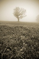 A single tree stands in farmland in Somerset surrounded by winter fog