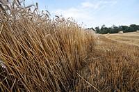 wheat field, Catalonia, Spain