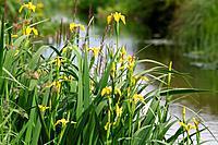 Irises (Iris pseudacorus) by a river bank.