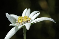 Edelweiss cultivar Helvetia, Leontopodium alpinum cultivar Helvetia