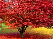 japanese maple tree in autumn colours,lake district,cumbria,england,uk,europe
