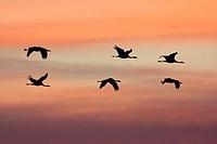 Flok of common cranes, Grus grus, in flight at sunset, Gallocanta, Teruel, Spain