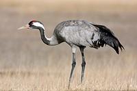 Common crane, Grus grus, at Gallocanta, Teruel, Spain