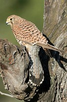 Common kestrel, Falco tinnunculus, perched on a branch, Valencia, Spain