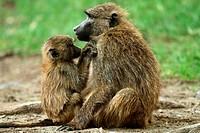 Baby and adult Baboons (Papio anubis), Lake Nakuru National Park, Kenya