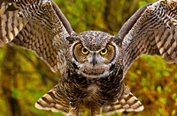Great horned owl Bubo virginianus, Alaska Wildlife Foundation, Ketchikan, Alaska USA