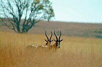 Blesboks. Reddish brown colour, pale rown buttock patch and white blaze on face Found on the plains of South Africa Free State
