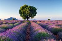 Lavender (Lavendula angustifolia) field with tree. Plateau de Valensole, near the village of Valensole. Alpes-de-Haute-Provence, Provence-Alpes-Cote d...