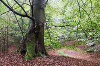 Trunk of old beech tree in forest. The Netherlands