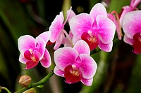 Orchid of the Phalaenopsis genus