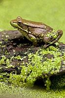 Green Frog (Rana clamitans) in duckweed, New York, USA