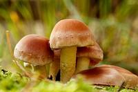 Nematoloma Capnoides cluster, Herperduin, Herpen, The Netherlands