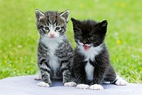 Kittens, two sitting together on cushion in garden, Lower Saxony, Germany