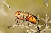 Heath fly Rhynomya sp