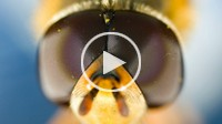 pull focus through a hover fly´s head, microscopy. 4:2:2 ProRes file