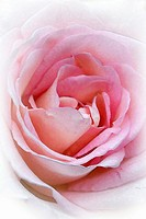 The center of a pink Rose with effects