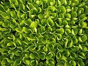 Lettuce nursery