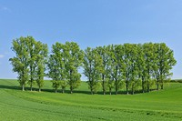 Tree row in field, spring, Reinheim, Hesse, Germany