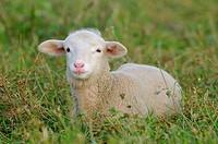 Merino lamb, Extremadura, Spain
