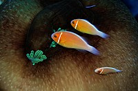 Three pink anemonefish, Amphiprion periderion, share the same host anemone, Pohnpei, Federated States of Micronesia.