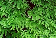 Early summer growth of western maidenhair fern Adiantum aleuticum, Gifford Pinchot National Forest, Cascade Mountains, Washington, USA