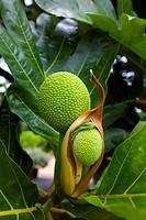 Breadfruit tree, Maui Nui Botanical Gardens, Kahului, Maui, Hawaii, USA