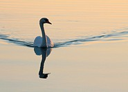White swan swimming in the lake, the evening sun.