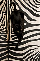 Black european cat lying on a black and white striped zebra skin
