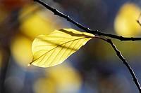 The bright autumn sun lights up a yellow leaf  Vaesternorrland, Sweden