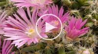 Time lapse  Trichodiadema densum