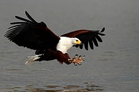 African fish eagle about to catch fish by its claws