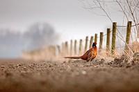 Common Pheasant Phasianus colchicus in a field