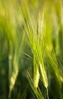 Closeup of growing barley ears, hordeum vulgare. Location Suonenjoki Finland Scandinavia Europe.