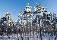Young and snowy pine, pinus sylvestris, trees growing on wet bog. Location Oulu Finland Scandinavia Europe.