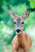 European Roe Deer Capreolus capreolus doe  Location: Male Karpaty, Slovakia