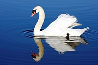 Mute Swan, Cygnus olor, with reflection in blue water Richard DeKortev Park, Lyndhurst, NJ, USA
