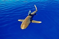 oceanic whitetip shark, Carcharhinus longimanus, cruising near the surface of the ocean, IUCN Vulnerable Species, Kona Coast, Big Island, Hawaii, USA,...