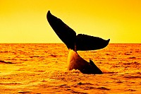 humpback whale, Megaptera novaeangliae, lobtailing at sunset, Megaptera novaeangliae, Hawaii, USA, Pacific Ocean
