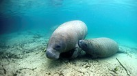 West Indian Manatee: Filmed on location at Crystal River National Wildlife Refuge, Crystal River, Florida courtesy of the U S  Fish and Wildlife Servi...