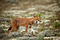 Ethiopian wolf yawning while walking