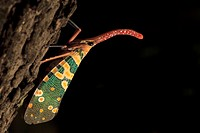 Lantern Bug Laternaria candelaria perched on trunk  Khao Yai National Park  Thailand