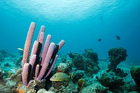 Coral reef with sponge in the Caribbean Sea around Bonaire, Dutch Antilles