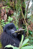 Mountain gorilla, Gorilla beringei beringei, are one of the most endangered species in the world, scientifics estimate that their are only around 700 ...