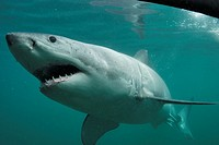 Great white shark Carcharodon carcharias outside a shark cage Stewart Island, New Zealand