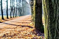 avenue of trees in late autumn, ispra, Lombardy, Italy